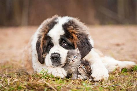 9 of the world's largest dog breeds | MNN - Mother Nature ... Fluffiest Kittens In The World