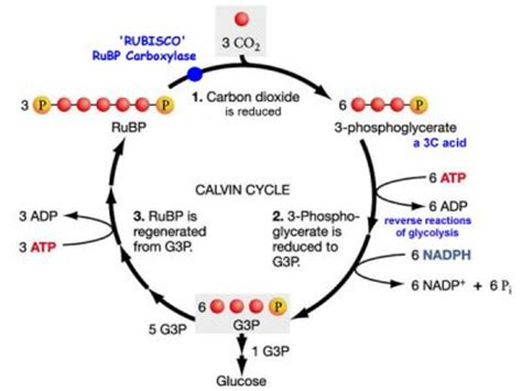 plant calvin cycle