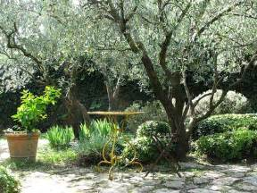 fruitless olive trees for california landscapes and