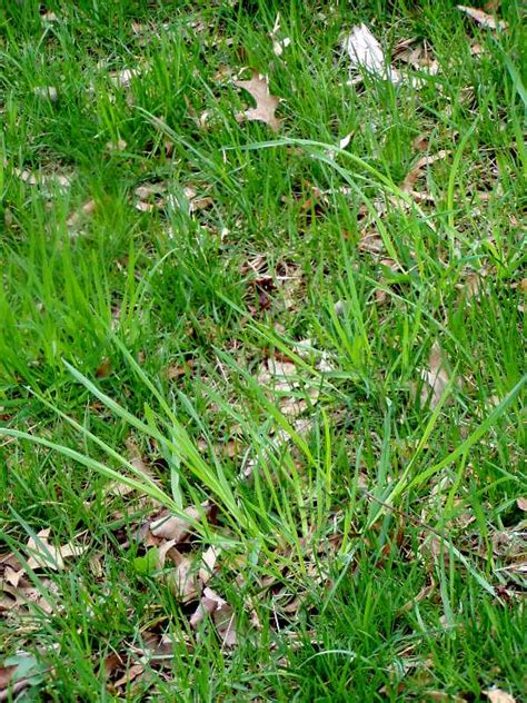 Weeds Backyard by Perennial Grassy Weeds In Lawns And Gardens