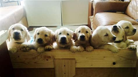 golden retriever lab puppies for sale lab golden retrievers all isleworth middlesex