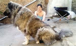 Caucasian shepherd dogs bred for hunting russian bears go on sale in