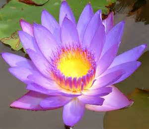The Lotus Blossom Flower Lotus Flowers