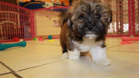dogs for sale in ga sweet havanese puppies for sale in at puppies for sale local breeders