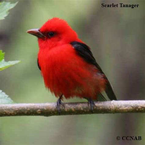 nature picture selection red bird