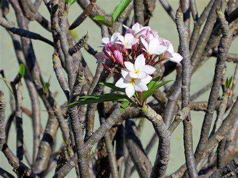 plomeria oaxaca oaxacan flowering trees at pre columbia monte alb 225 n