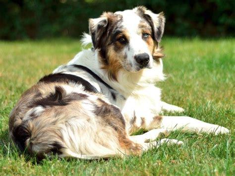 free australian shepherd puppies search locally for miniature australian shepherd puppies and dogs nearest you