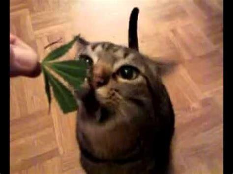 eats marijuana cat eats marijuana stoner