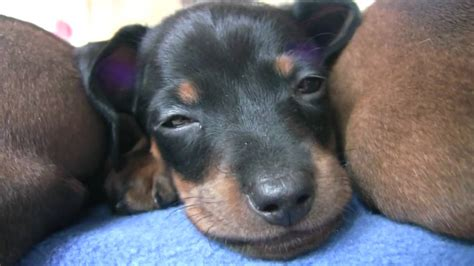 how to take care of a 6 week puppy 6 week dachshund puppy care 1001doggy