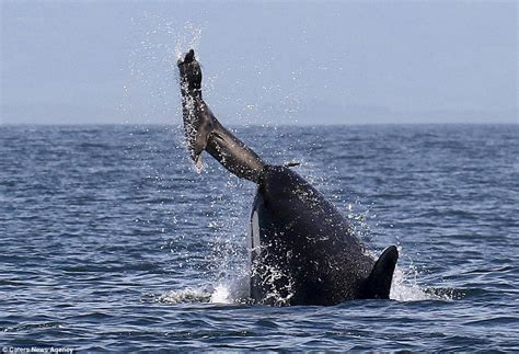 killer whale sends seal hurtling through the air off