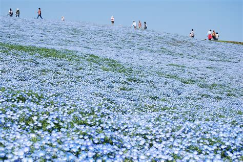 Baby Japan Blue file baby blue nemophila hitachinaka city japan jpg wikimedia commons