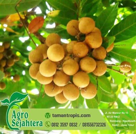 jual bibit pohon kelengkeng unggul sudah berbuah