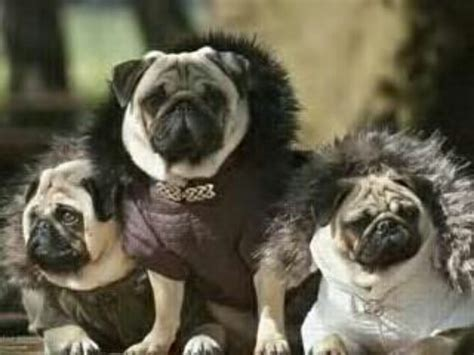 pugs in coats pugs in fur coats animals