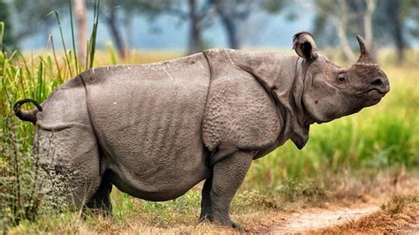 Javan Beige 521 best rhinos images on rhinos rhinoceros
