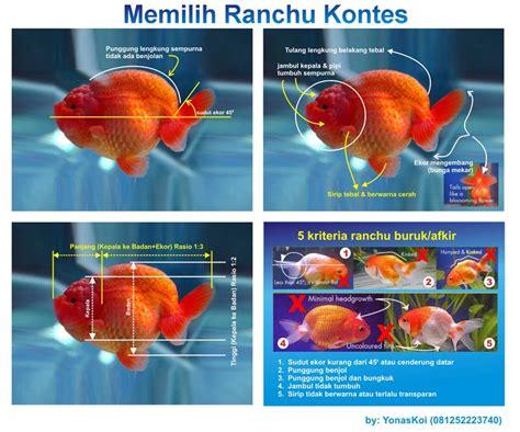 Benih Ikan Koi Malaysia jenis jenis ikan koki the knownledge