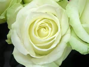 Rose avalanche jpg 2048 215 1536 rose pinterest