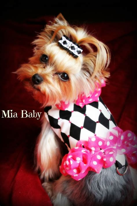 teacup yorkie clothing 556 best images about yorkies on terrier yorkie and micro