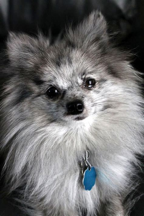 blue pomeranian pictures 25 best ideas about blue merle pomeranian on blue pomeranian pomeranian
