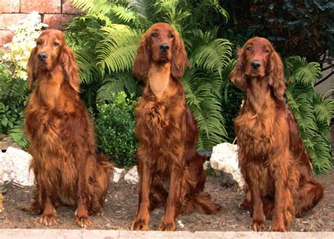 Irish Setter Dog Breed » Information, Pictures, & More