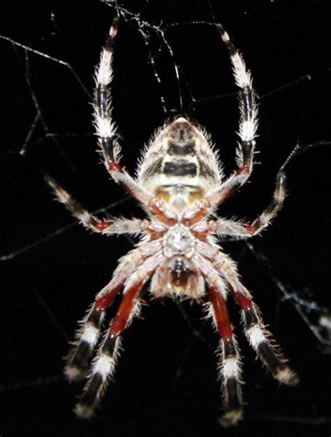 Garden Orb Spider Australia Garden Orb Web Spider From Australia What S That Bug
