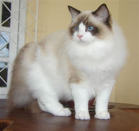 ragdoll cat size the ragdoll cat breed