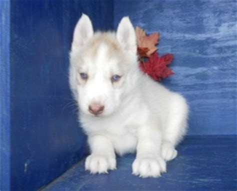 husky puppies for sale in orlando siberian husky puppies for sale ta bay for sale daytona pets dogs