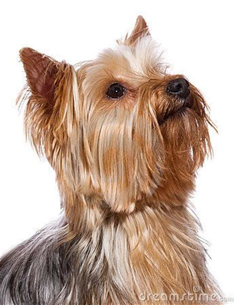 shih tzu furbaby rescue crompond ny best 20 terrier rescue ideas on yorkie yorkie puppies and