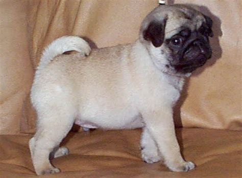 pugs and show bit o gold pugs breeders of best in show and specialty winning pugs since 1982