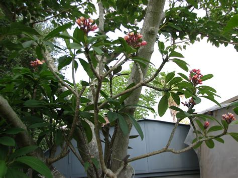 plumeria care plumeria care and propagation plumeria workshop and