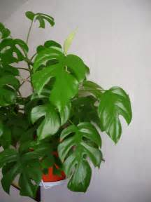 philodendron piccolo c 244 t 233 jardin