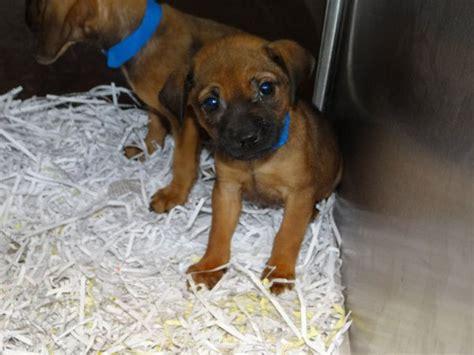 boxer hound mix puppies boxer hound mix 33 desktop wallpaper dogbreedswallpapers