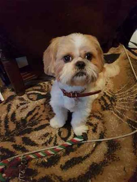 missing shih tzu lost register search the uk for missing dogs