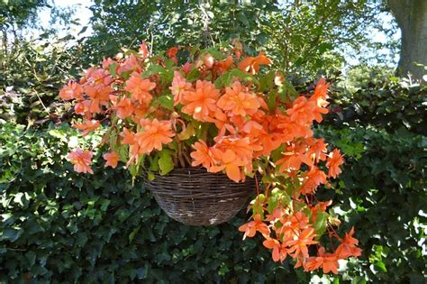 hanging flower garden flower orange nature garden hanging domain