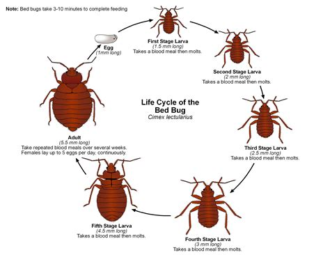 a picture of bed bugs bed bug photos bestpestcontroluk