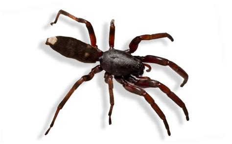white house spider 10 most dangerous spiders in australia planet deadly list