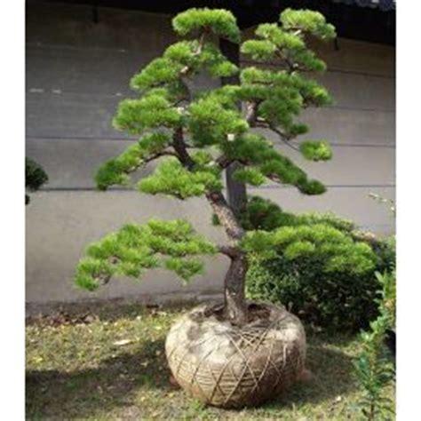 Photo Jardin Zen Chez Particulier by Pinus Mugo Mughus Acheter Vos Arbres Chez Le Sp 233 Cialiste