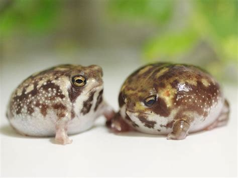 Nuget Cutel frogs frogs frogs fuzzy