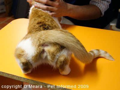 female cat in heat signs symptoms and behavioral