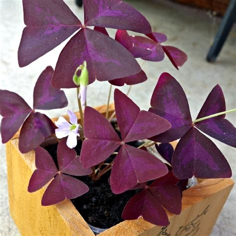growing oxalis   grow shamrock plants tips