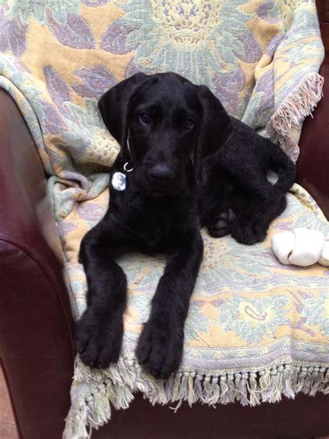 dane doodle puppies for sale great dane doodle breeds picture