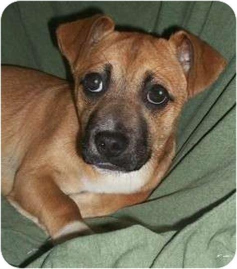 corgi pug mix joseph adopted puppy foster ri corgi pug mix