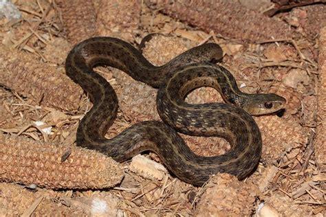 Garter Snake Ky Common Kentucky Snakes Thamnophis Sirtalis Garter