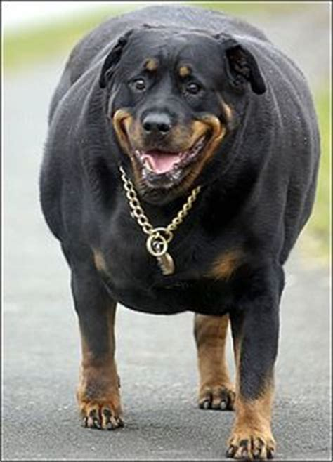 how much do rottweilers eat 1000 images about rottweiler on rottweilers rottweiler puppies and
