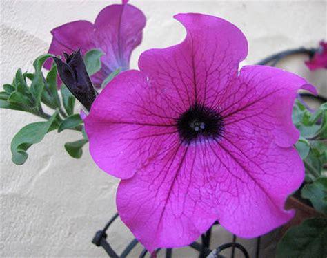bloemen ziektes surfinia hangpetunia verzorging ziektes vermeerderen