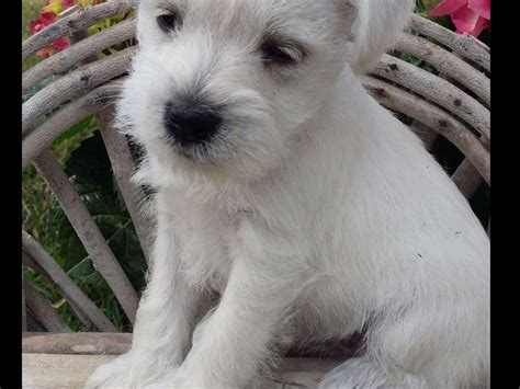 akc miniature schnauzer puppies for sale in nc miniature schnauzer puppies for sale page 2 akc marketplace