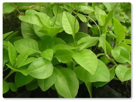 Obat Herbal Binahong informasiherbal informasi obat alami dan thibbun nabawi