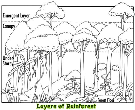 rainforest diagram a beautiful but tricky tree wilderness classroom