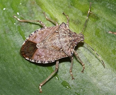 what causes bed bugs to come out affordable and simple stink bug control tips