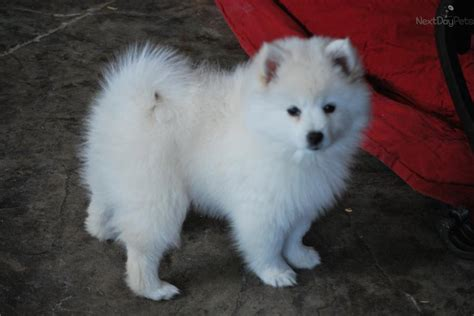 miniature american eskimo puppies american eskimo puppy for sale near provo orem utah ca9caeec 9e11