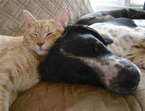 cat and cuddling dogs cuddling with cats 10 photos thatmutt a